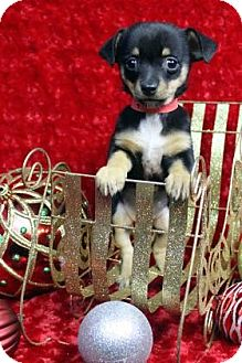 Dachshund Mix Puppy for adoption in Westminster, Colorado - BOPPITY