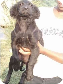 Labrador Retriever/Border Collie Mix Puppy for adoption in Salem, New Hampshire - Mary Mary contrary