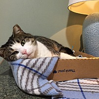 Domestic Shorthair Cat for adoption in Bryn Mawr, Pennsylvania - Magnolia/ loves belly rubs