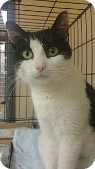 Domestic Shorthair Cat for adoption in East Brunswick, New Jersey - Jodie