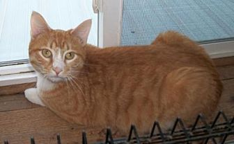 Domestic Shorthair Cat for adoption in Lacon, Illinois - JJ