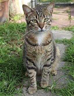 Bengal Cat for adoption in Thibodaux, Louisiana - Rajah FE1-9502