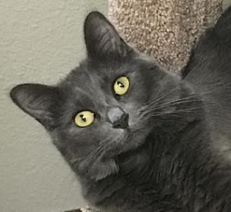 Domestic Mediumhair Cat for adoption in Palo Alto, California - Glenda