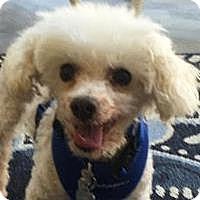Adopt A Pet :: Pee Wee - La Costa, CA