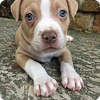 Adopt A Pet :: Remington - Houston, TX