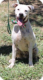 Boxer/Dalmatian Mix Dog for adoption in Olympia, Washington - Dexter