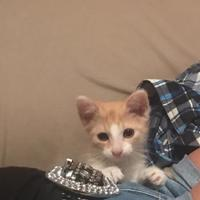 Domestic Shorthair/Domestic Shorthair Mix Cat for adoption in Pendleton, Indiana - Lance