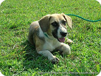 Shepherd (Unknown Type)/Labrador Retriever Mix Puppy for adoption in PRINCETON, Kentucky - Piper