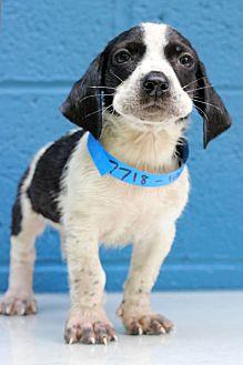 Basset Hound/Labrador Retriever Mix Puppy for adoption in Waldorf, Maryland - Larry