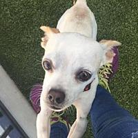Adopt A Pet :: Chi - Culver City, CA