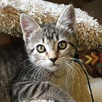 Adopt A Pet :: Toshi - Yukon, OK