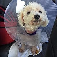 Adopt A Pet :: Starla - Los Angeles, CA
