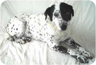 Dalmatian Mix Dog for adoption in Charleston, Arkansas - Gizmo- Dalmation-Senior