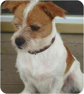 Jack Russell Terrier Mix Dog for adoption in Freeport, New York - Chewey