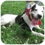 Photo 2 - Dalmatian/American Staffordshire Terrier Mix Dog for adoption in Freeport, New York - Lennox
