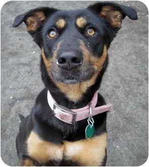Shepherd (Unknown Type)/Pointer Mix Dog for adoption in Marseilles, Illinois - Daisy 2