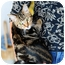 Photo 3 - American Shorthair Cat for adoption in Boynton Beach, Florida - Chicory
