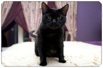 Domestic Shorthair Cat for adoption in Sterling Heights, Michigan - Eclipse