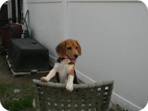 Beagle Puppy for adoption in Yardley, Pennsylvania - Fleur