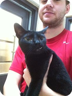 Bombay Cat for adoption in Baton Rouge, Louisiana - T.C.