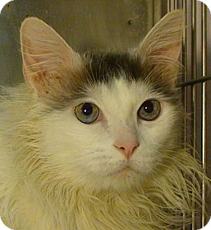 Domestic Longhair Cat for adoption in El Cajon, California - Whiskers