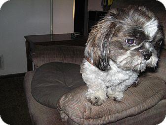 Shih Tzu Dog for adoption in Eden Prairie, Minnesota - Gromit