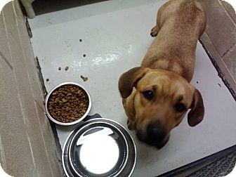 Corgi/Black Mouth Cur Mix Dog for adoption in Bowie, Texas - Eddy