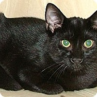 Domestic Shorthair Cat for adoption in Chattanooga, Tennessee - Berta