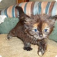 Adopt A Pet :: Fluffy Tortie - Acme, PA
