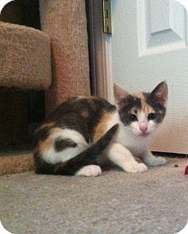 Domestic Shorthair Kitten for adoption in Monroe, Georgia - Little Bit/Leigha