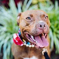 Adopt A Pet :: Scarlett - Asheboro, NC