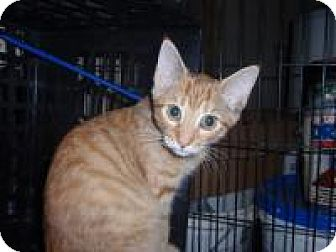Domestic Shorthair Cat for adoption in East Brunswick, New Jersey - Lita