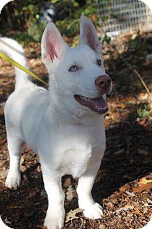Corgi/Husky Mix Puppy for adoption in Waldorf, Maryland - Radio