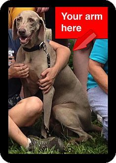 Weimaraner Dog for adoption in New Orleans, Louisiana - Vic