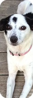 Chihuahua Mix Dog for adoption in Pompton Lakes, New Jersey - LACY