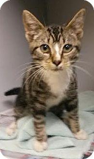 Domestic Shorthair Kitten for adoption in Albertville, Alabama - Tiger