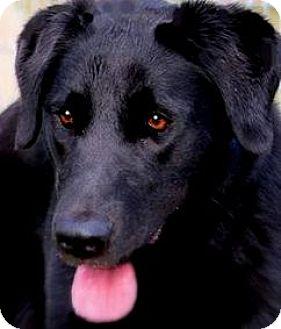 Labrador Retriever Dog for adoption in Wakefield, Rhode Island - BARBIE(FUN-PLAYFUL-SO SMART!!