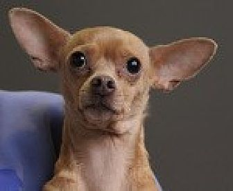 Chihuahua/Italian Greyhound Mix Dog for adoption in Georgetown, Colorado - Annie