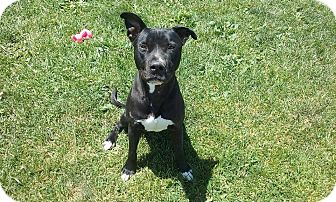 American Pit Bull Terrier Mix Dog for adoption in Elyria, Ohio - Kennel #15