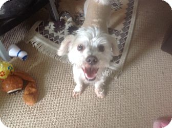 Lhasa Apso/Chihuahua Mix Dog for adoption in Jacksonville, Florida - Jack