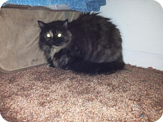 Domestic Longhair Cat for adoption in Monroe, New Jersey - Dorrie