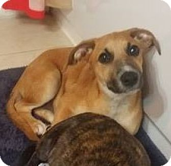 Black Mouth Cur/Rhodesian Ridgeback Mix Puppy for adoption in Houston, Texas - Maddie
