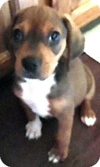 Hound (Unknown Type) Mix Puppy for adoption in Kalamazoo, Michigan - Roo - Caitlin