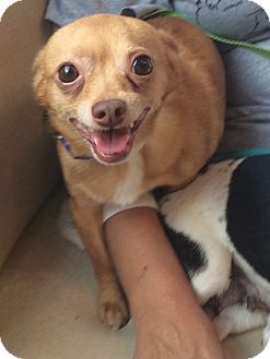 Chihuahua Dog for adoption in Oak Ridge, New Jersey - Buster