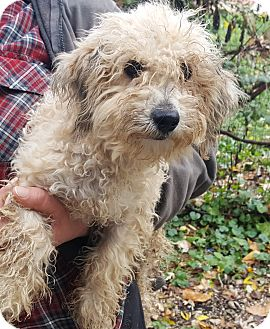 Poodle (Miniature)/Yorkie, Yorkshire Terrier Mix Dog for adoption in Antioch, Illinois - Perkins ADOPTION PENDING!!