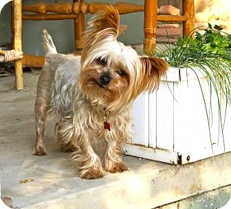 Yorkie, Yorkshire Terrier Mix Dog for adoption in Los Angeles, California - Hamilton