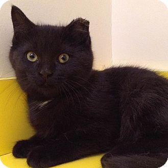 Domestic Shorthair Kitten for adoption in Brimfield, Massachusetts - Tress