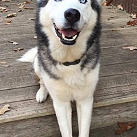Siberian Husky Dog for adoption in Halethorpe, Maryland - Orion