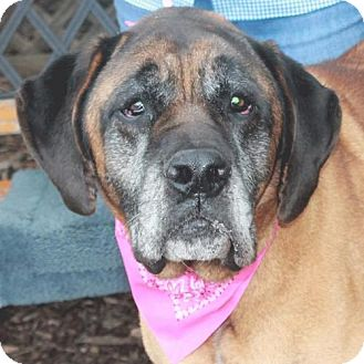 Mastiff Mix Dog for adoption in Garfield Heights, Ohio - Maddie-PENDING