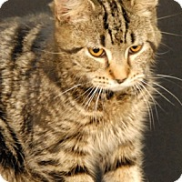Domestic Shorthair Cat for adoption in Newland, North Carolina - Lil Baby